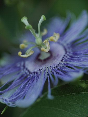 Close View of a Passion Flower on Cumberland Island Stretched Canvas Print