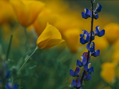 Close View of Mexican Poppies and Other Wildflowers Stretched Canvas Print