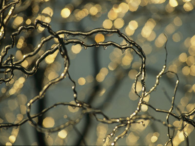 Frozen Twigs of a Corkscrew Willow Sparkle in the Sunlight Stretched Canvas Print