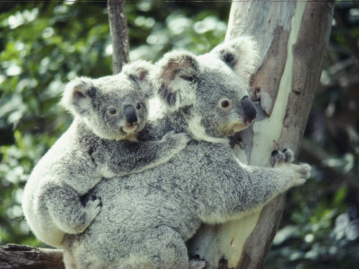 A Koala Bear Hugs a Tree While Her Baby Clings to Her Back Stretched Canvas Print