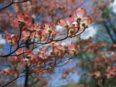 Pink Dogwoods in Bloom Stretched Canvas Print