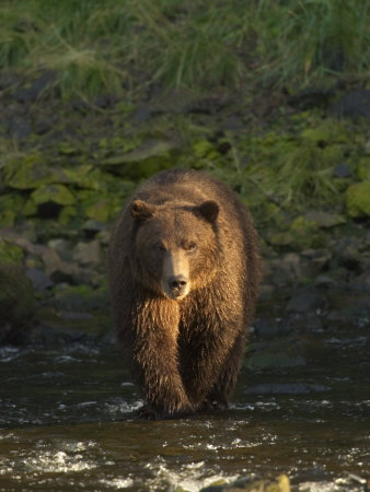 A Serious Looking Brown Bear Crossing a Stream Stretched Canvas Print