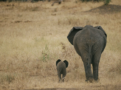 A Juvenile African Elephant and its Parent Walk off into the Savanna Stretched Canvas Print