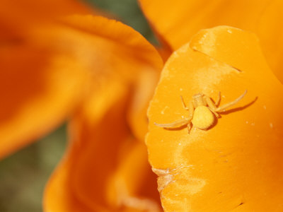 A Goldenrod Spider Waits for Prey on a California Poppy Flower Stretched Canvas Print