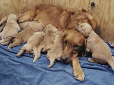 golden retriever puppy pictures. Golden Retriever Puppies