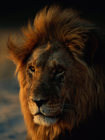 Close View of a Male Lion (Panthera Leo) Stretched Canvas Print