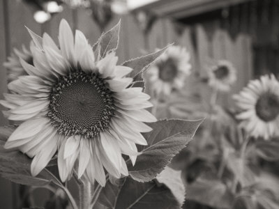 A Black and White Photograph of a Sunflower Stretched Canvas Print