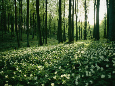 Spring Forest View with Anemones, Rugen Island in the Baltic Sea Stretched Canvas Print