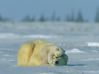 A Polar Bear Cub Rests Soundly Atop its Mothers Head Stretched Canvas Print
