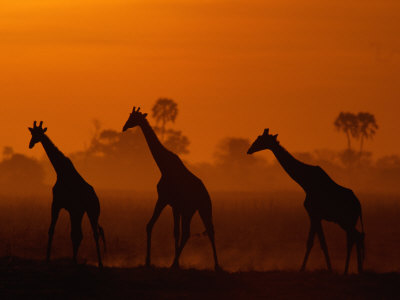 Giraffes Silhouetted at Twilight Stretched Canvas Print