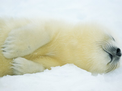 Close View of Sleeping Two-Day-Old Harp Seal Pup Stretched Canvas Print