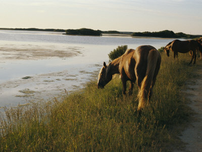 Chincoteague Ponies Graze on Marsh Grass Stretched Canvas Print
