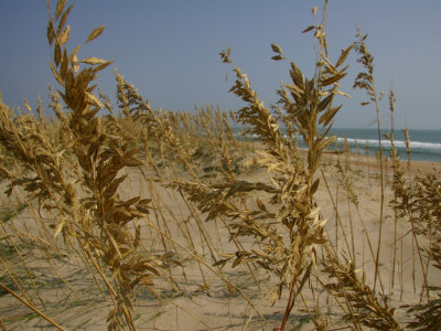 Sea Oats, Vital Plants That Anchor Sand Dunes, Blow in the Breeze Stretched Canvas Print