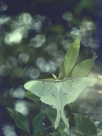 Luna Moth Clings to a Pond Side Chokecherry Tree Stretched Canvas Print