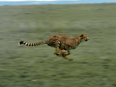Cheetah Running Across Grassland in Country in Africa Stretched Canvas Print