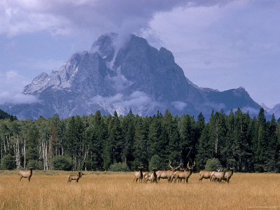 Elk Grazing in Foreground with Mt. Moran in the Background Stretched Canvas Print