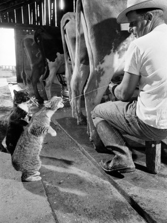 Cats Blackie and Brownie Catching Squirts of Milk During Milking at Arch Badertscher's Dairy Farm Stretched Canvas Print