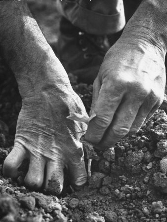 Farmer's Strong, Work Toughened Hands Planting in the Garden Stretched Canvas Print