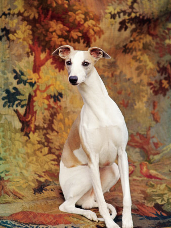 Portrait of Whippet Chosen Best in Show at the 88th Annual Westminster Kennel Club Dog Show Stretched Canvas Print