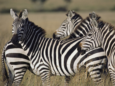 A Herd of Plains Zebras in Kenyas Masai Mara National Reserve Stretched Canvas Print
