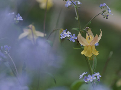 Forget-Me-Not and Yellow Columbine Wildflowers Stretched Canvas Print
