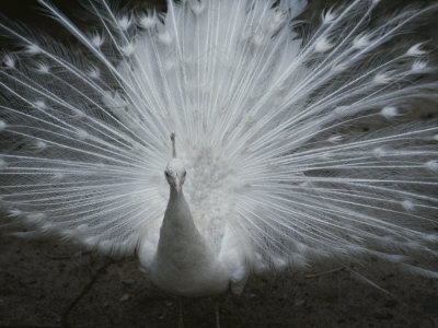 A Beautiful Albino Peacock (Pavo Species) Walks Toward the Camera Stretched Canvas Print