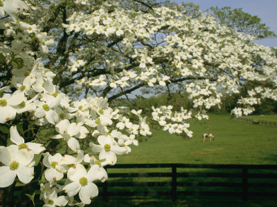 A Blossoming Dogwood Tree in Virginia Stretched Canvas Print
