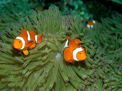 Western Clown Anemonefish Swim Among the Tentacles of a Magnificent Sea Anemone Stretched Canvas Print