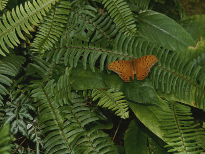 An Orange Leopard Butterfly Rests on Green Leafy Ferns Stretched Canvas Print