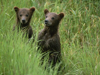 Two Grizzly Bear Cubs in Tall Grass in Katmai National Park Stretched Canvas Print