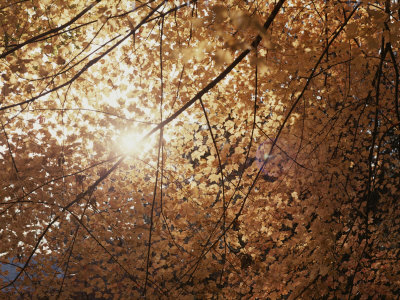 Sun Peeks Through a Canopy of Yellow Autumn Leaves Stretched Canvas Print