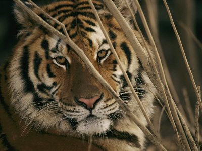 A Captive Tiger Shows a Formidable Expression Stretched Canvas Print