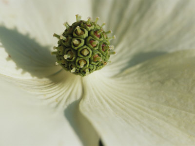 Close View of a Dogwood Blossom Stretched Canvas Print