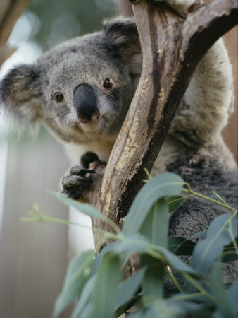 Close View of a Koala Bear Stretched Canvas Print
