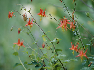 Crimson Columbines Above the Columbia River Gorge Stretched Canvas Print