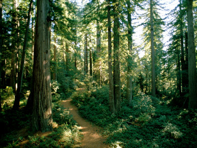 Woodland Path Winding Through a Grove of Sequoia Trees ...