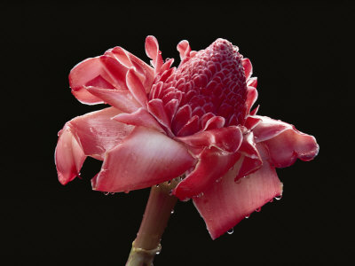 Dew Drops Glisten on a Beautiful Pink Torch Ginger Flower Stretched Canvas Print