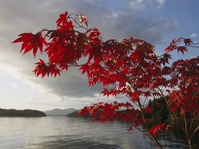 A Maple Tree in Fall Foliage Frames a View of Barnard Harbour Stretched Canvas Print