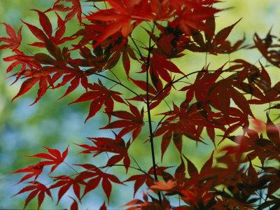 japanese maple leaves tattoo. Japanese Maple Leaves