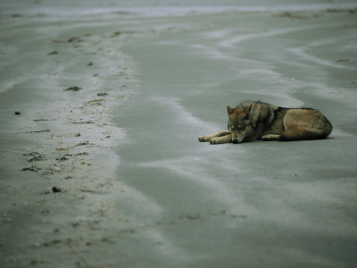 Gray Wolf on Beach Stretched Canvas Print