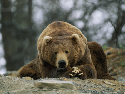 A Grizzly Bear at Rest on the Edge of the Larson Bay Dump Stretched Canvas Print