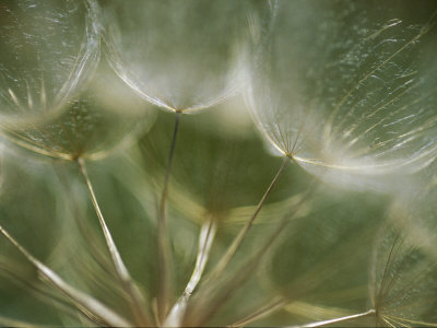 A Close View of a Dandelion Seed Head Stretched Canvas Print