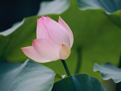 A Chinese Lotus Flower Stretched Canvas Print