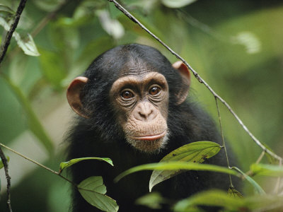 A Young Chimpanzee Peeks Through the Leaves of the Tai Forest Stretched Canvas Print