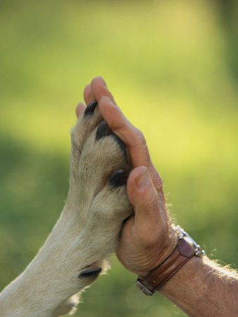 Jim Dutcher Places His Hand to the Paw of a Gray Wolf, Canis Lupus Stretched Canvas Print