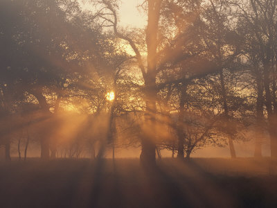Sunlight Filters Through Trees and Fog at Sunrise Stretched Canvas Print