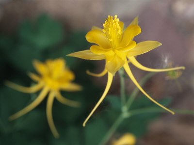 A Close View of a Yellow Columbine Flower Stretched Canvas Print
