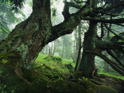 Ancient Fir Trees in Forest Stretched Canvas Print