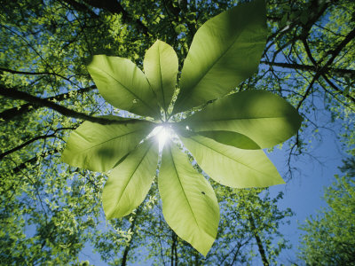 Sunlight Filters Through the Leaves of an Umbrella Tree Stretched Canvas Print