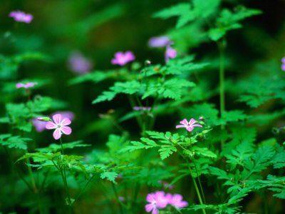 Herb Robert (Geranium Robertianum) Hedgerow, Ireland Stretched Canvas Print